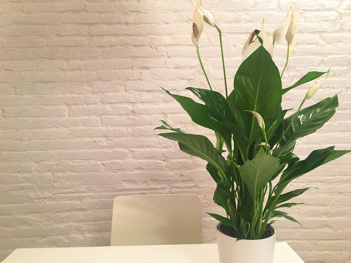 Attrayant Home / Plants With Special Health Benefits / Peace Lily (Spathiphyllum), Closet  Plants